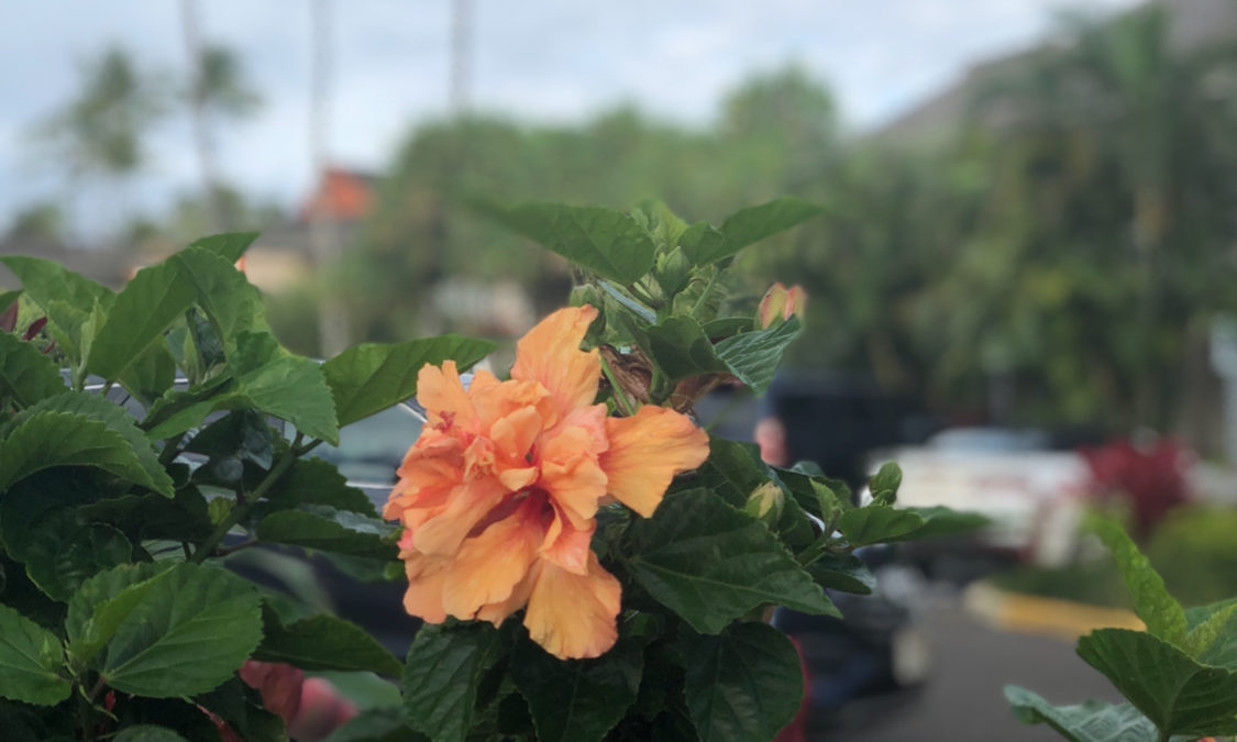 Hawaii Hibiscus Photo Series