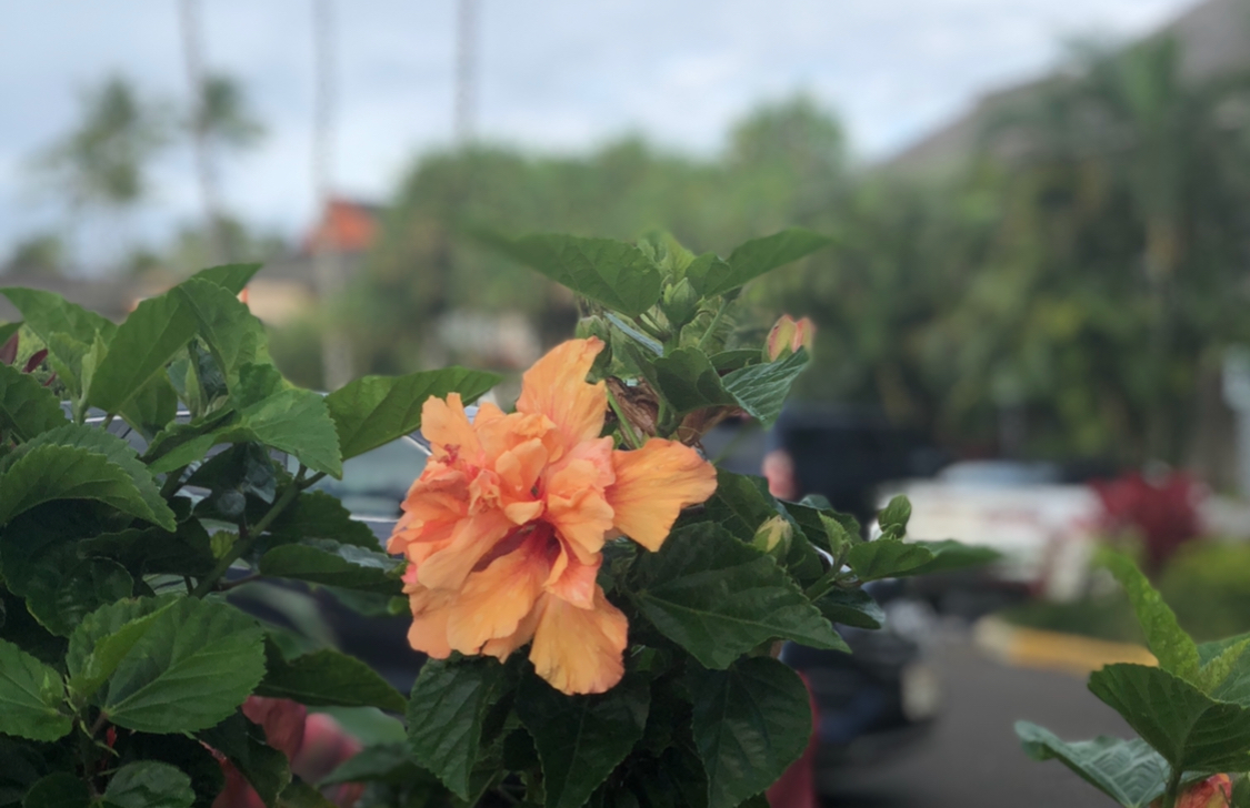 Lush orange hibiscus against a backdrop of palm trees