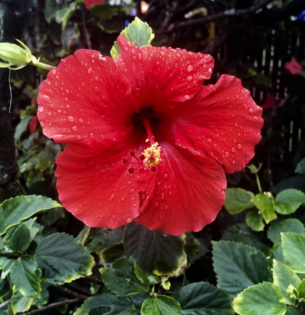 A red hibiscus covered with raindrops