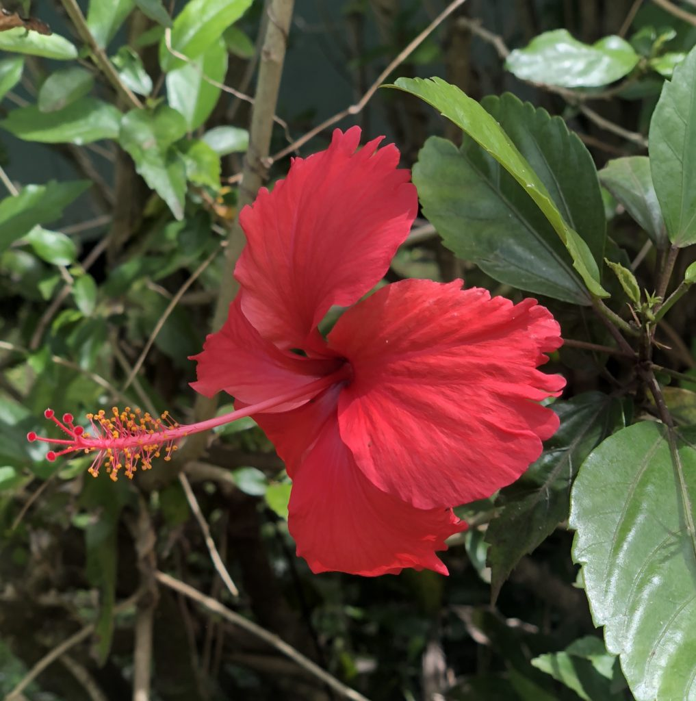 Sideview of a red hibiscus flower